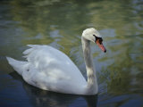 Close-up of a Tundra Swan Swimming in a Shaded Pond Photographic Print by George F. Mobley