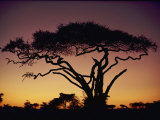 Silhouetted Acacia Tree Photographic Print by George F. Mobley
