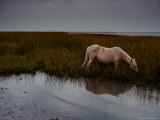 Chincoteague Pony Grazing on Southern Assateague Island Photographic Print by Medford Taylor