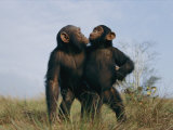 A Pair of Orphan Chimpanzees Fotoprint van Michael Nichols