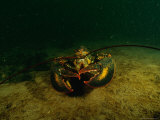 An American Lobster (Homarus Americanus) Photographic Print by Heather Perry