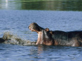 Hippopotamuses Sparring with One Another Photographic Print