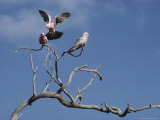 Pink and Gray Galah Cockatoos Photographie par Sam Abell
