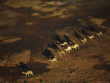 An Aerial View of a Herd of Camels in Australias Simpson Desert Photographic Print by Medford Taylor