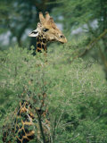 A Reticulated Giraffe Pokes its Head Above a Tree Photographic Print by Roy Toft