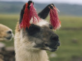 Close View of a Llama with Tassels in its Ears Fotografisk tryk af Luis Marden