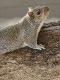 An Eastern Gray Squirrel with Nose and Whiskers on the Alert Photographic Print