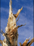 Detail of a Gnarled Bristlecone Pine Tree Photographic Print by Marc Moritsch