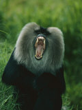 A Captive Lion-Tailed Macaque Bares its Teeth Photographic Print by Roy Toft