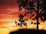 A Bright Red, Orange and Yellow Sunset Silhouettes a Tree in Nipomo Photographic Print by Marc Moritsch