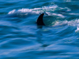 The Fin of an Atlantic Whitesided Dolphin Photographic Print by Heather Perry