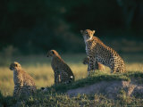 A Group of African Cheetahs Keep a Wary Eye out for Predators and Prey Photographic Print by Chris Johns