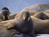 Atlantic Walruses Basking in the Sun Photographic Print
