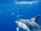 Common Dolphins Photographic Print