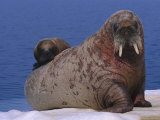 An Atlantic Walrus (Odobenus Rosmarus) Cub Rests on its Mothers Back Photographic Print by Paul Nicklen