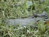 A Close-up of an American Alligator in Georgias Okefenokee Swamp Photographic Print by Anne Keiser
