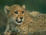 A Close View of a Juvenile African Cheetah Photographic Print by Chris Johns