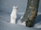 A Long-Tailed Weasel in Winter-White Camouflage Stands in the Snow Photographic Print by Michael S. Quinton