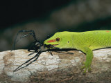 A Madagascar Day Gecko Feeds on a Spider Photographic Print