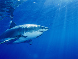 Großer weißer Hai Fotografie-Druck von Brian J. Skerry