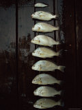 A Days Catch, Including One That Should Have Been Thrown Back, are Lined up on a Wet Dock Photographic Print by Medford Taylor