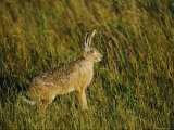 A Field Hare Stands Alertly in Long Grass Photographic Print by Mattias Klum