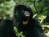 Mountain Gorilla with its Mouth Agape Photographic Print by Michael Nichols