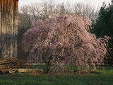 A Japanese Weeping Cherry Tree Blooms Beside an Old Barn Photographic Print by George F. Mobley