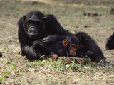 Two of the Many Chimpanzees at Gombe Stream National Park in Tanzania Photographic Print by Kenneth Love