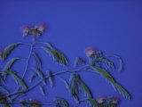 Flowering Mimosa Tree Photographic Print