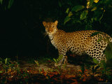 Camera Trap Shot of a Leopard (Panthera Pardus) Photographic Print by Michael Nichols