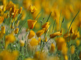 Mexican Poppies Photographic Print by Annie Griffiths