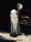 A Majestic Great Egret Cranes its Neck to Pluck at its Feathers Photographie par Stephen St. John