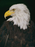 Profile Shot of an American Bald Eagle Photographic Print by Anne Keiser