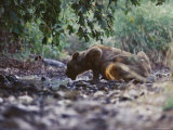 Asian Lioness Laps Water from a Creek in a Dry Teak Forest Photographic Print by Mattias Klum