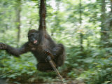 Juvenile Gorilla Swinging on a Vine Photographic Print by Michael Nichols