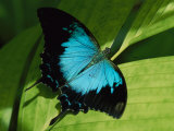 Close View of a Ulysses Butterfly Photographic Print by Nicole Duplaix
