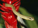 A Snake Moves Through a Ginger Plant Photographic Print