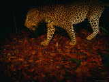 Camera Trap Shot of a Passing Leopard (Panthera Pardus) Photographic Print