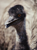 Close-up of an Emus Head and Neck Photographic Print by Anne Keiser