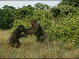 Male Gorillas Spar for Group Dominance Photographic Print