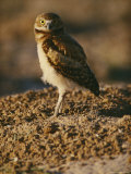 Burrowing Owl at a Prairie Dog Reintroduction Site Photographic Print