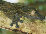 A Leaf-Tailed Gecko Blends in with a Tree Branch Photographic Print by Roy Toft