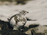 Close View of a Ptarmigan Displaying its Winter Plumage Lámina fotográfica por W.E. Garrett