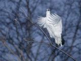 A Ptarmigan Flies in for a Landing Photographic Print by Paul Nicklen