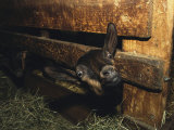 A Goat with its Head Protruding Through Fence Slats in a Barn Photographic Print by Nicole Duplaix