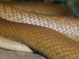 A Close View of Scales on a Taipan Snake Photographic Print by Jason Edwards