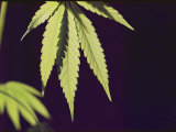 Leaves of a Marijuana Plant Photographic Print by Todd Gipstein