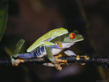 Red-Eyed Tree Frogs Mate on a Leaf in the Rain Forest Photographic Print by Mattias Klum