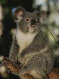 A Koala Clings to a Eucalyptus Tree in Eastern Australia Fotografisk tryk af Nicole Duplaix